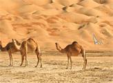 Игра Освободи верблюда