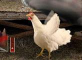 Игра Бешеная курица